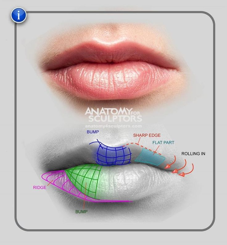 Lip Inner Mouth Anatomy And