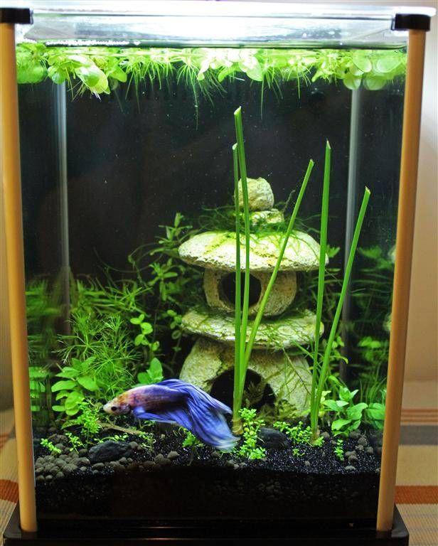 Banana Plant Aquarium