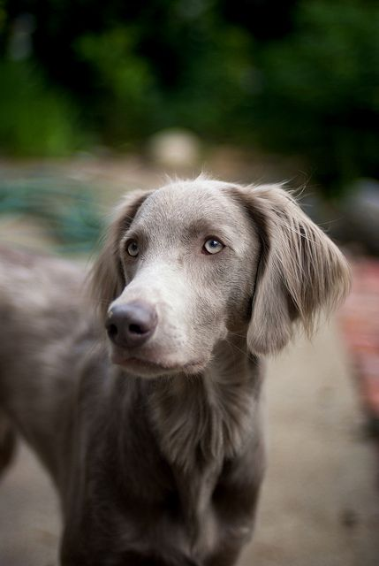 Puppies Haired Weimaraner Long