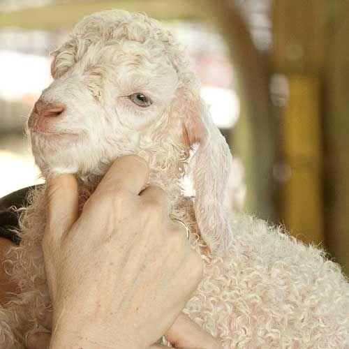 Sheep Turkey Trouble