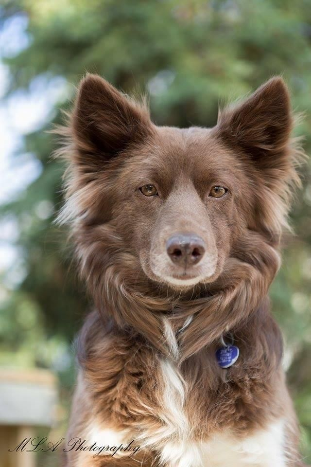 Australian Rescue Az Collie Border Shepherd
