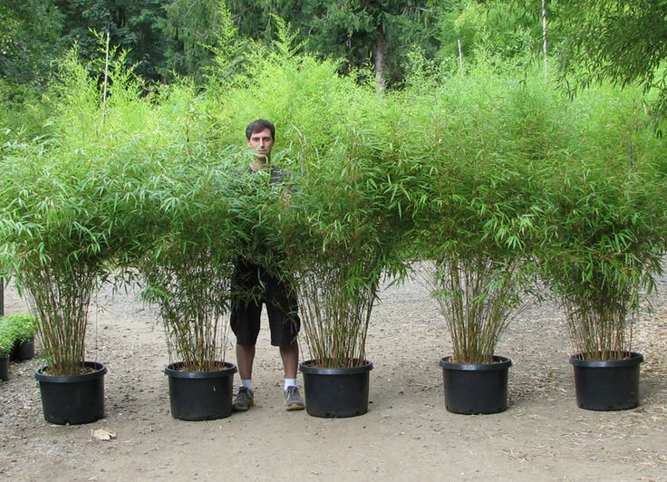 Non Clumping Bamboo Plants