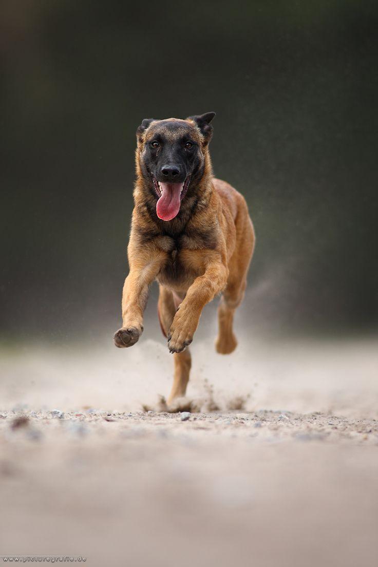 Anatomy Heart Dog S Dog