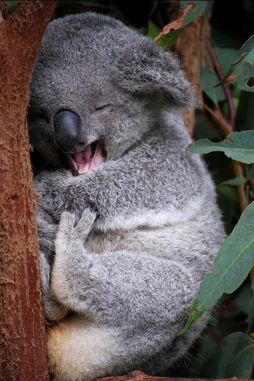 The cutest koala ever   love these koalas   Pinterest ...