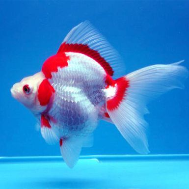 Ryukin is a hardy and attractive variety of goldfish with ...