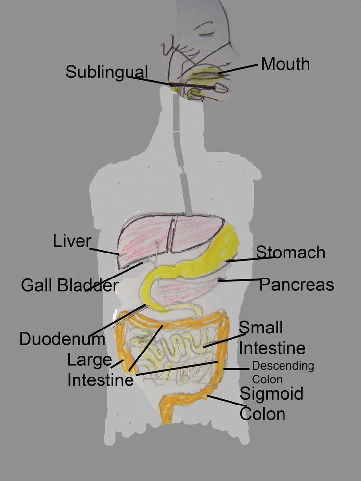 Female Digestive System Diagram Pregnant Belly