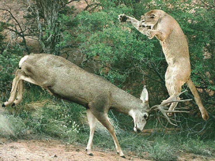 Kansas State Record Mule Deer