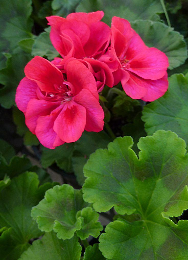 Berry Parfait Geranium Gorgeous Geraniums Pinterest
