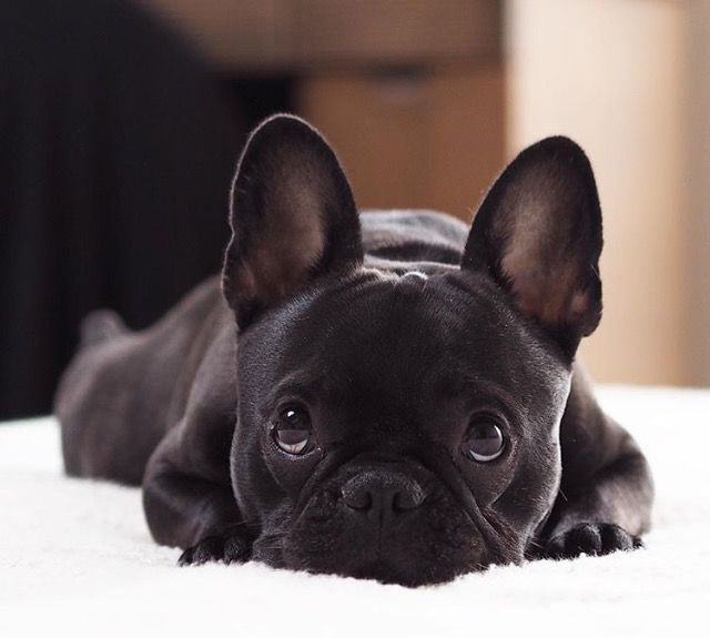 25 Best Ideas About Baby French Bulldog On Pinterest