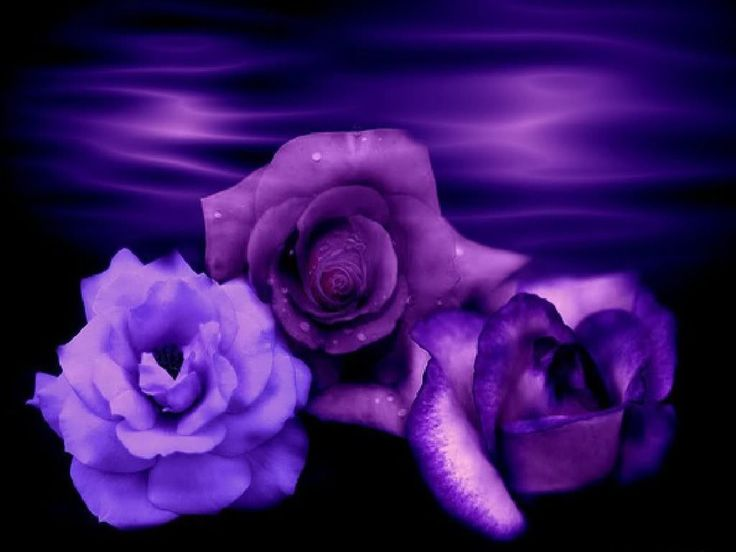 Enchanted Rose Wallpaper