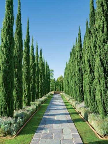 Italian Cypress Trees Around Houses