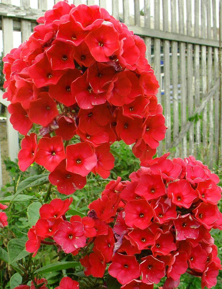 Names Tall Phlox Flowers