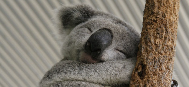 91 best images about Koalas and Kangaroos on Pinterest ...