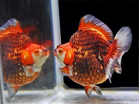 1216 best images about Goldfish on Pinterest | Auction ...