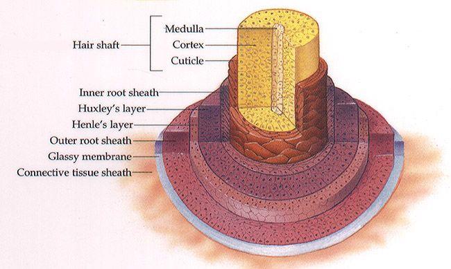 Curly Hair Cortex Diagram