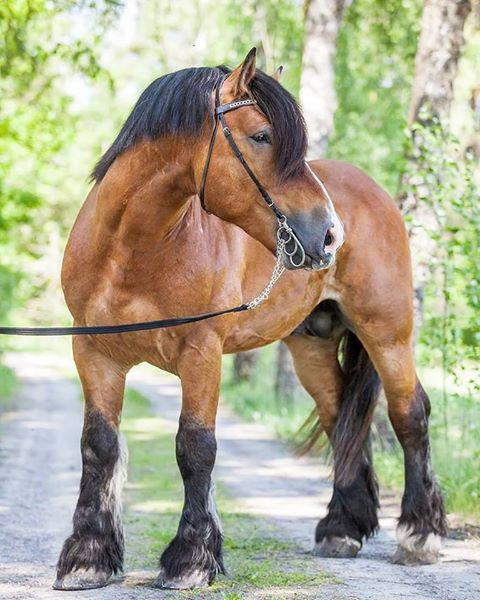 Jet Black Clydesdale Horses