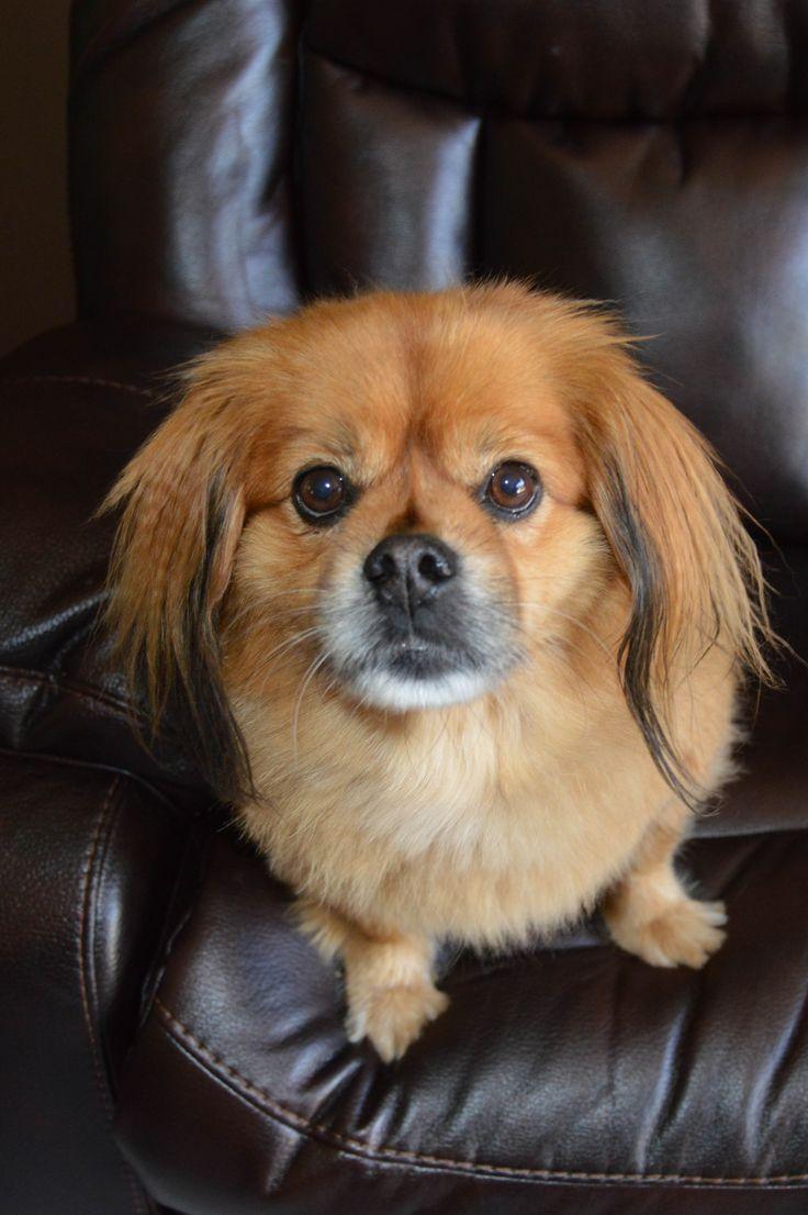 Mixed Female Pomeranian Rescues Florida