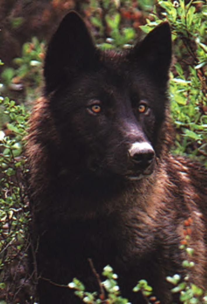 Black And White And Eyes Dark Wolf Brown Yellow