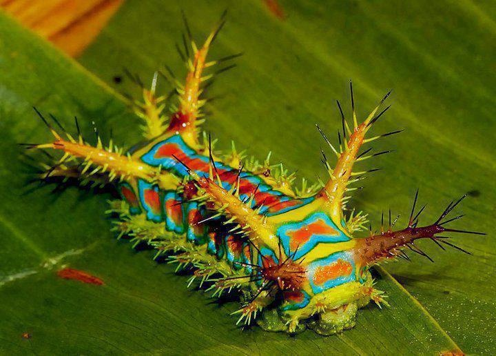 Venomous Caterpillars Florida