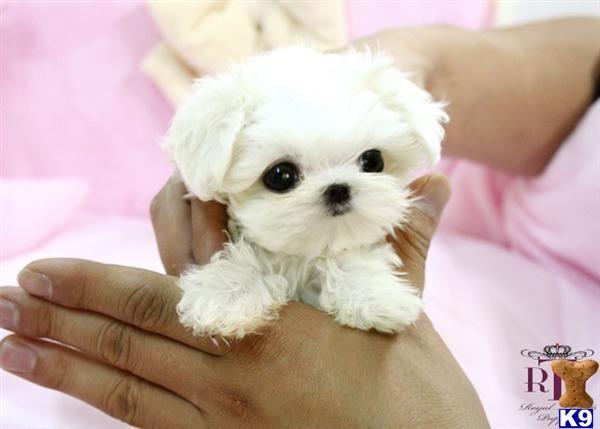 Teacup Sale Pugs Baby