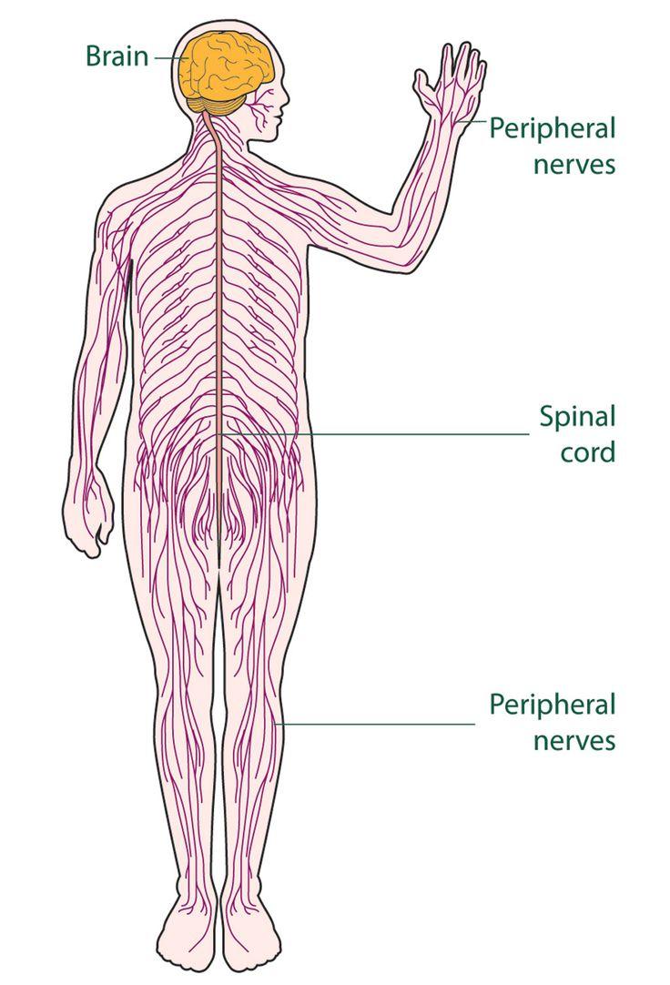 Three Basic Parts Nervous System