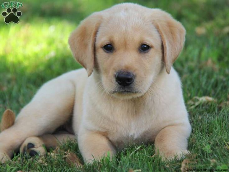 Golden Lab Chihuahua Mix
