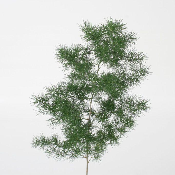 Willow Feather Eucalyptus