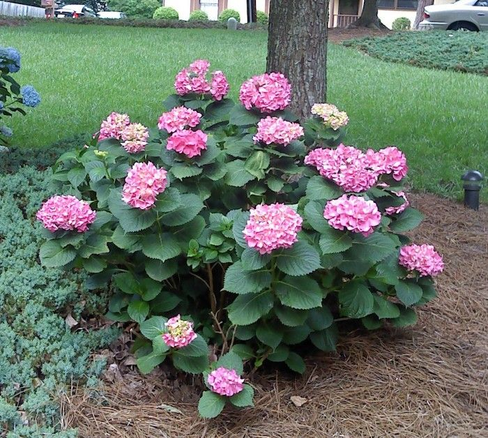 Pia Dwarf Hydrangea Perennial Plants And Gardening
