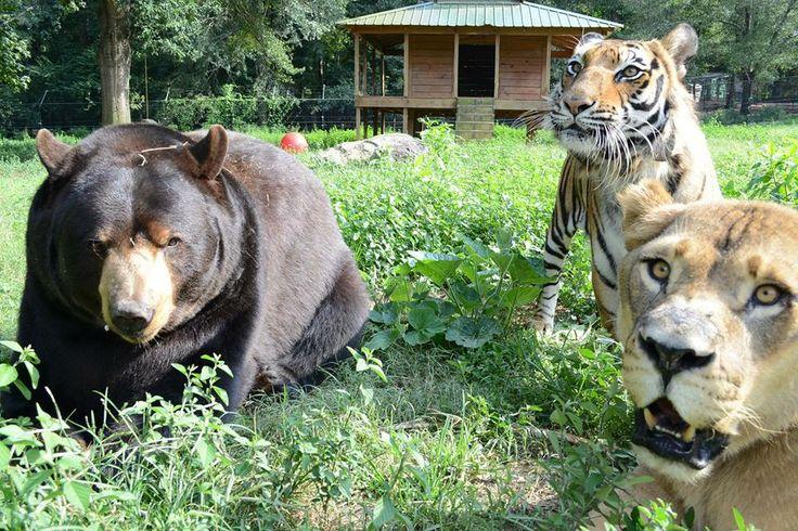 17 Best images about #BLT, Baloo, Leo & Shere Khan (Bear ...