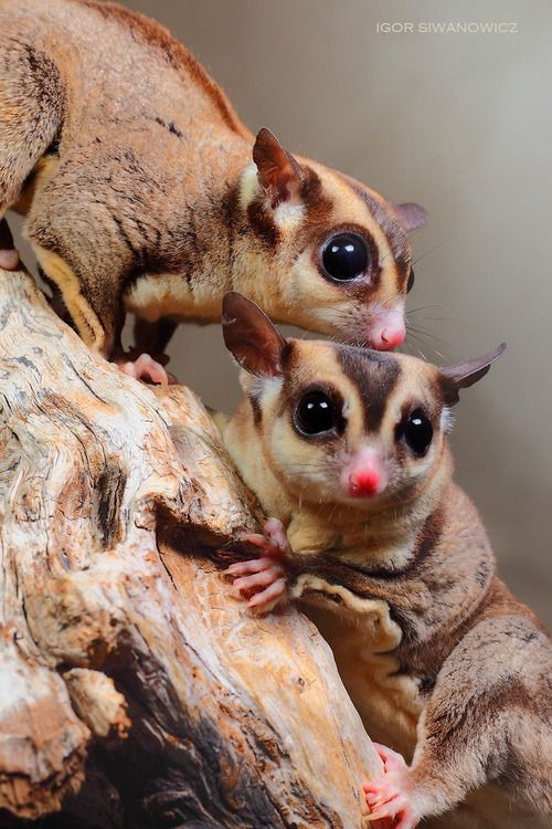 Found Where Are Sugar Gliders