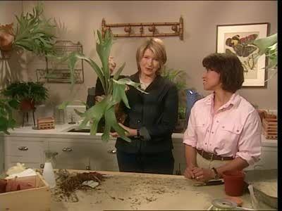 Best 25+ Staghorn fern ideas only on Pinterest | Staghorn ...