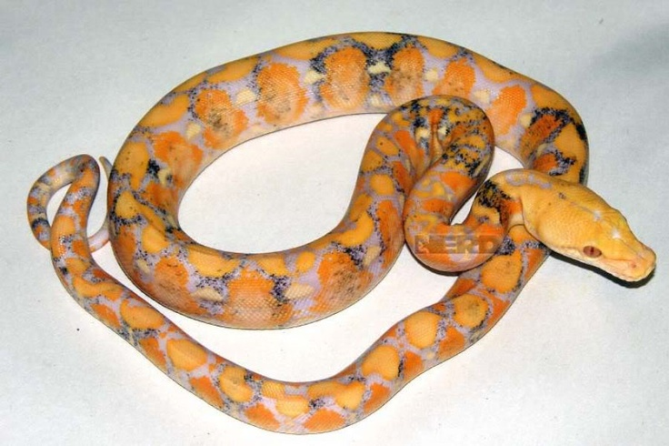 57 best images about Ball pythons on Pinterest