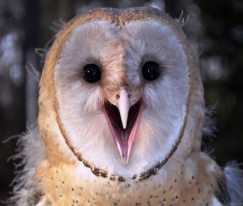 Barn Owl Sounds   Autor: phi   23 March 2012   1,043 ...