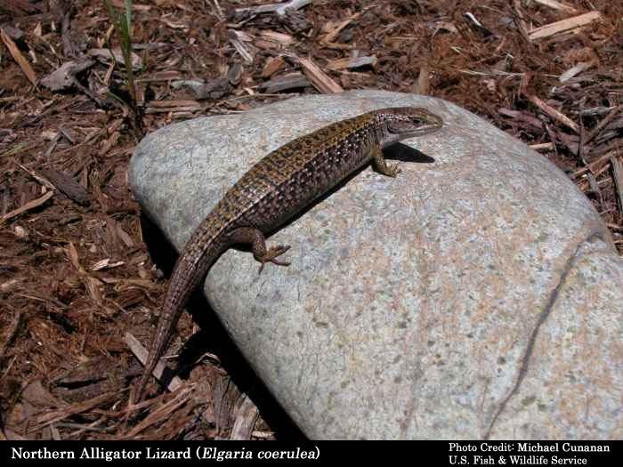 Types Pet Salamanders