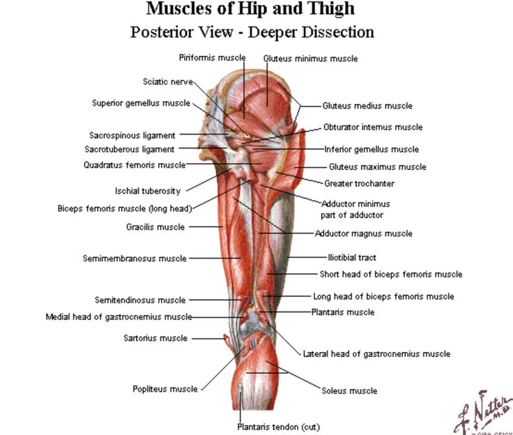 Hip And Groin Muscle Diagram