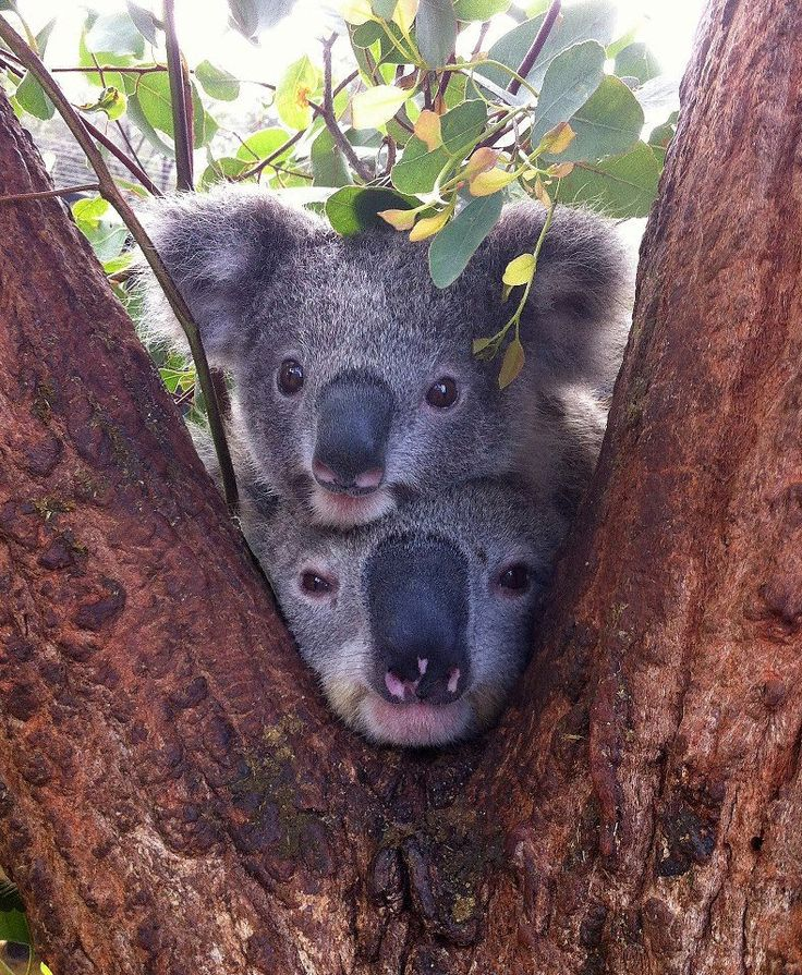 109 best images about Koalas on Pinterest | Fence, Park in ...
