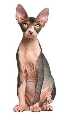 78 best images about Hairless Animals on Pinterest | Devon ...