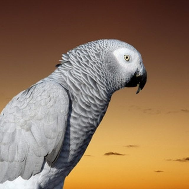 Box African Grey Parrot Nesting