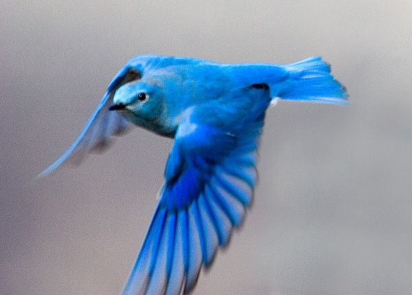 Bluebird Happiness Tattoo