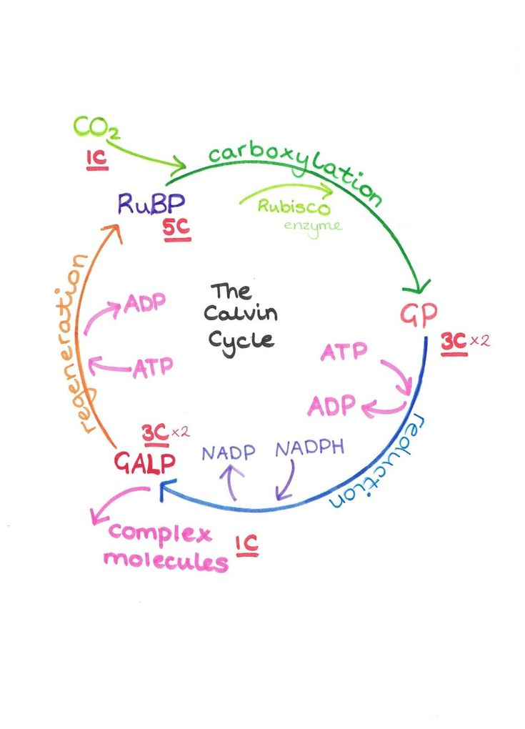 Photosynthesis Light Reactions Flow Chart
