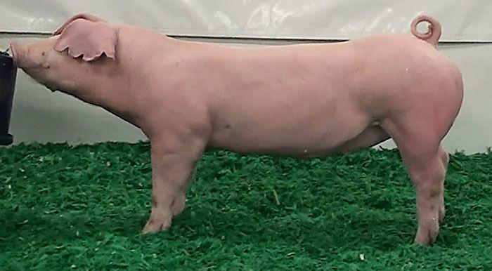 Livestock Pigs Pens