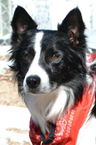 Free Collies Adoption