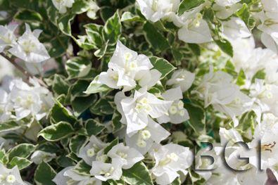 Bougainvillea White Stripe Or Vanilla Ice Sun Drier