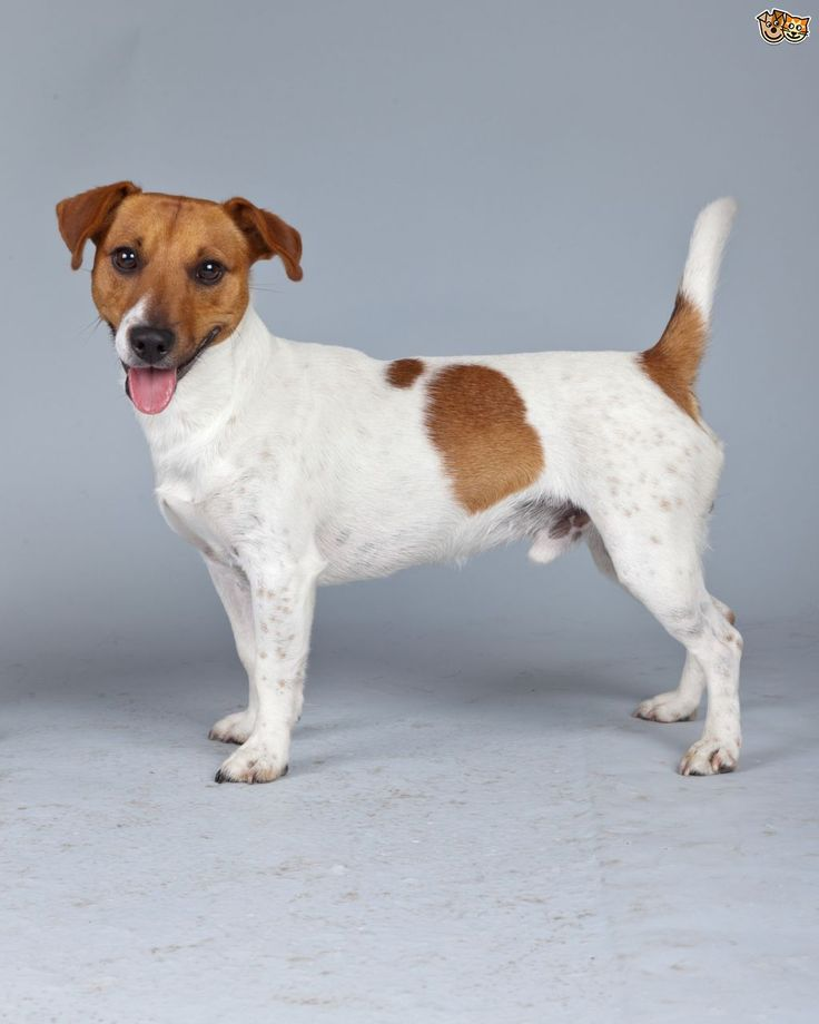 Russell Corgi Mix Jack Terrier White Black And