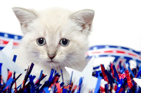 70 Best Images About Fourth Of July Cats On Pinterest