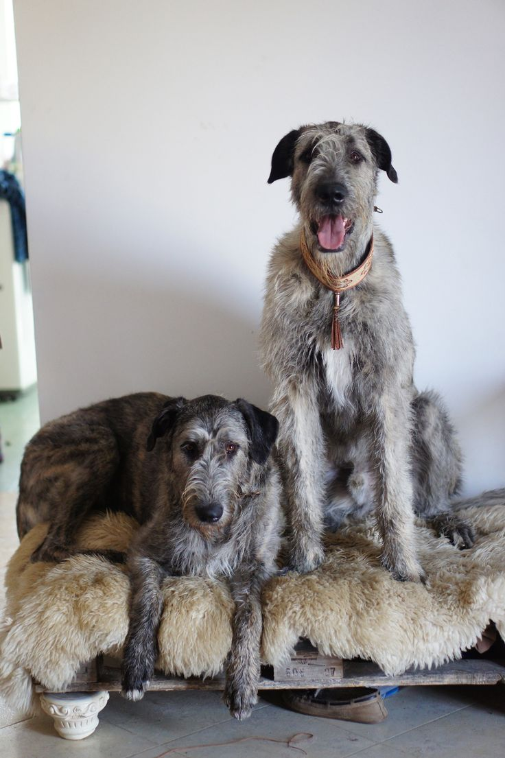 Best 756 Faille Irish Wolfhounds Images On Pinterest