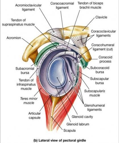 Upper Airway Anatomy Intubation
