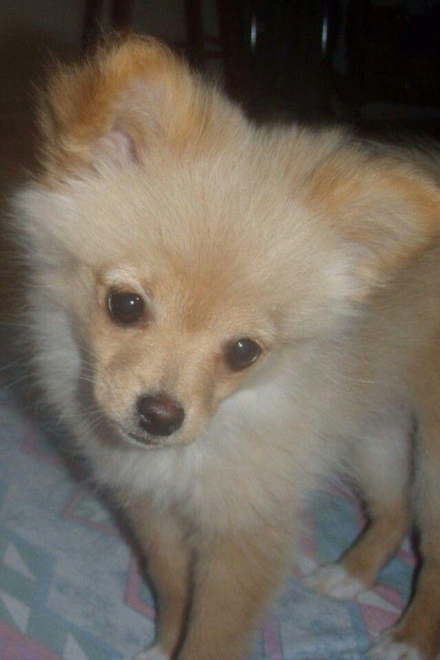 Chiwawa Free Puppies Adoption