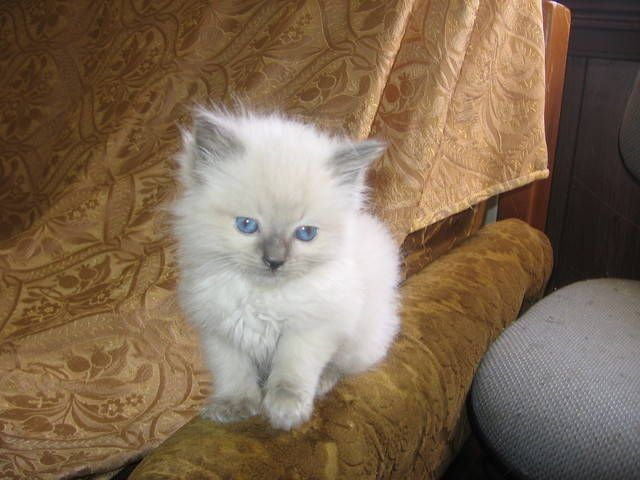 Free Near Adoption Me Kittens