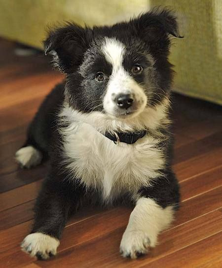 Australian Mix Border Queensland Shepherd Collie